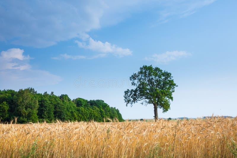 Το μεγάλο παλαιό δρύινο δέντρο γίνεται μόνο μόνο στον τομέα σίτου Ηρεμία και ηρεμία της αγροτικής ζωής Καλός θερινός καιρός Χρόνο στοκ φωτογραφία με δικαίωμα ελεύθερης χρήσης
