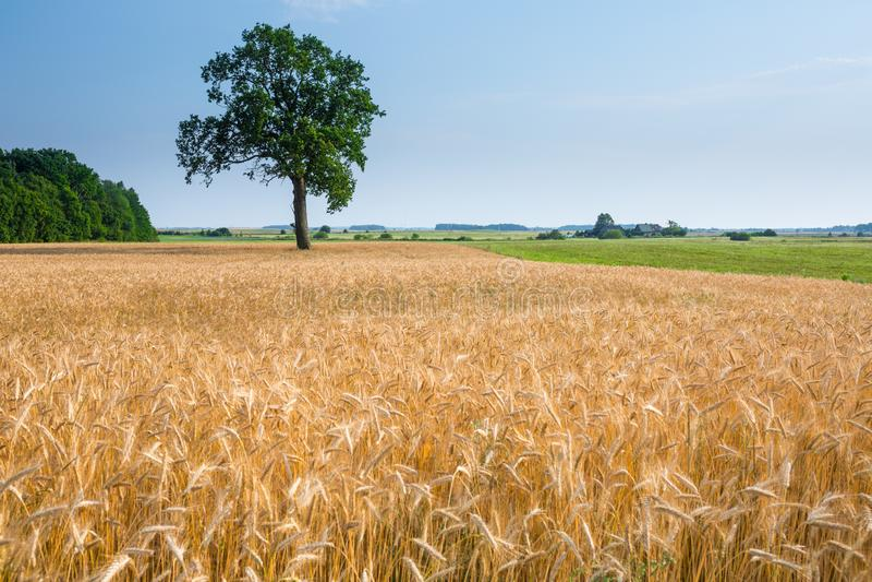 Το μεγάλο παλαιό δρύινο δέντρο γίνεται μόνο μόνο στον τομέα σίτου Ηρεμία και ηρεμία της αγροτικής ζωής Καλός θερινός καιρός Χρόνο στοκ εικόνα με δικαίωμα ελεύθερης χρήσης