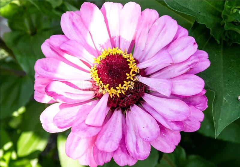Το μεγάλο ρόδινο λουλούδι άνθισε στοκ φωτογραφίες με δικαίωμα ελεύθερης χρήσης