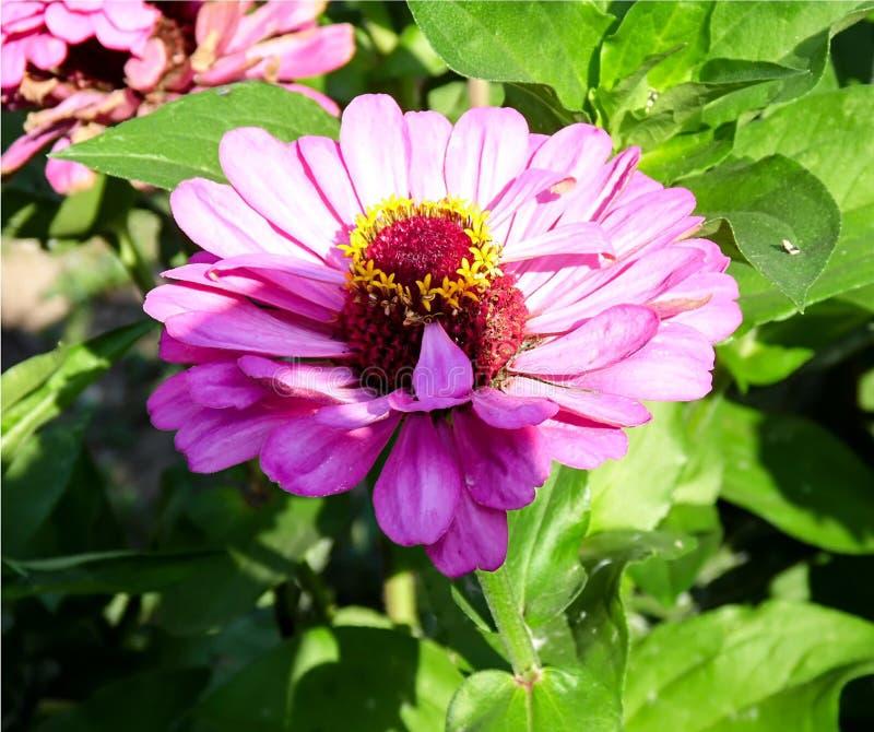 Το μεγάλο ρόδινο λουλούδι άνθισε στοκ φωτογραφία με δικαίωμα ελεύθερης χρήσης