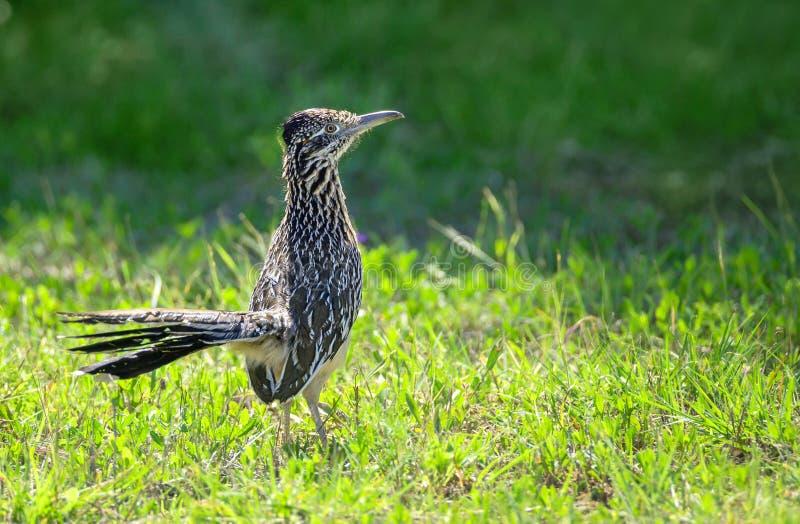 Το μεγαλύτερο californianus Geococcyx πουλιών roadrunner στοκ εικόνες με δικαίωμα ελεύθερης χρήσης