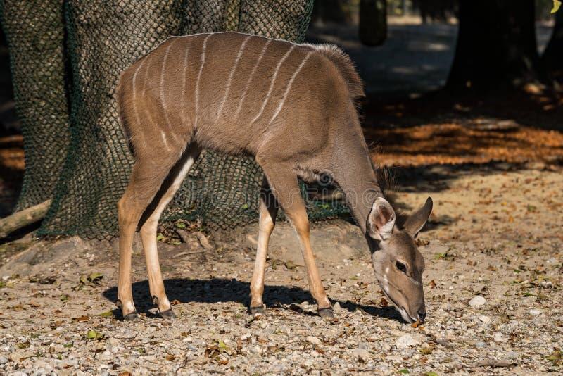 Το μεγαλύτερο kudu, strepsiceros Tragelaphus είναι μια δασόβια αντιλόπη στοκ εικόνες με δικαίωμα ελεύθερης χρήσης