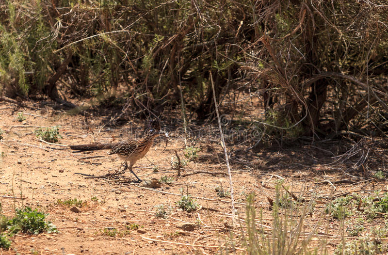 Το μεγαλύτερο roadrunner, californianus Geococcyx, πουλί τρώει μια σαύρα στοκ εικόνα