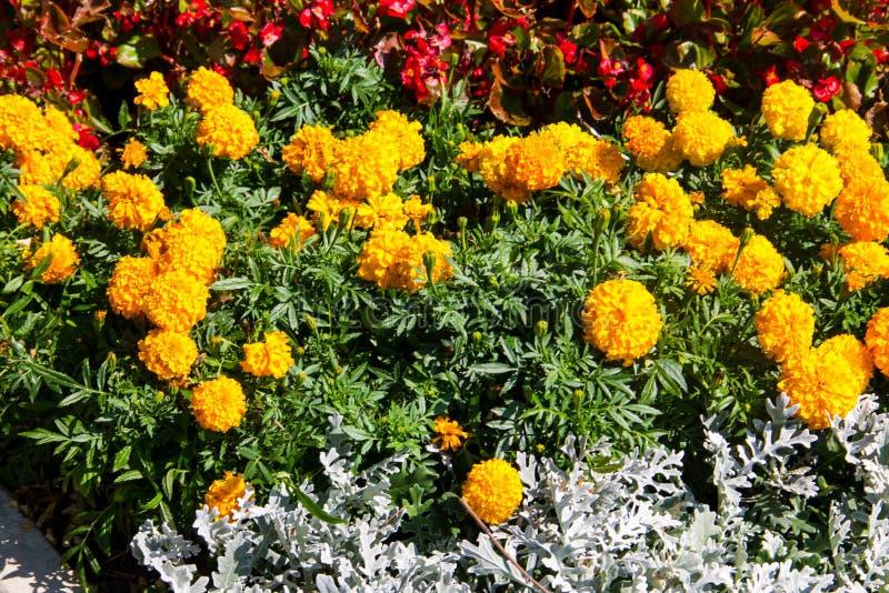 Το μεξικάνικο marigolds erecta Tagetes, των Αζτέκων marigold επάνω στοκ φωτογραφία