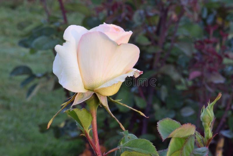 Το μεταξωτό άσπρο EUREKA αυξήθηκε λουλούδι στοκ φωτογραφία με δικαίωμα ελεύθερης χρήσης
