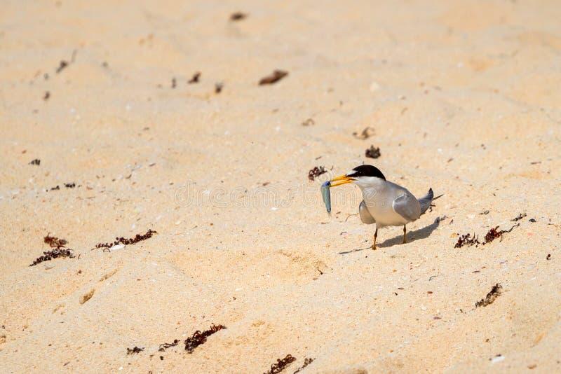 Το με ράμφος γλάρου πουλί στερνών στην παραλία της καραϊβικής θάλασσας στοκ φωτογραφία
