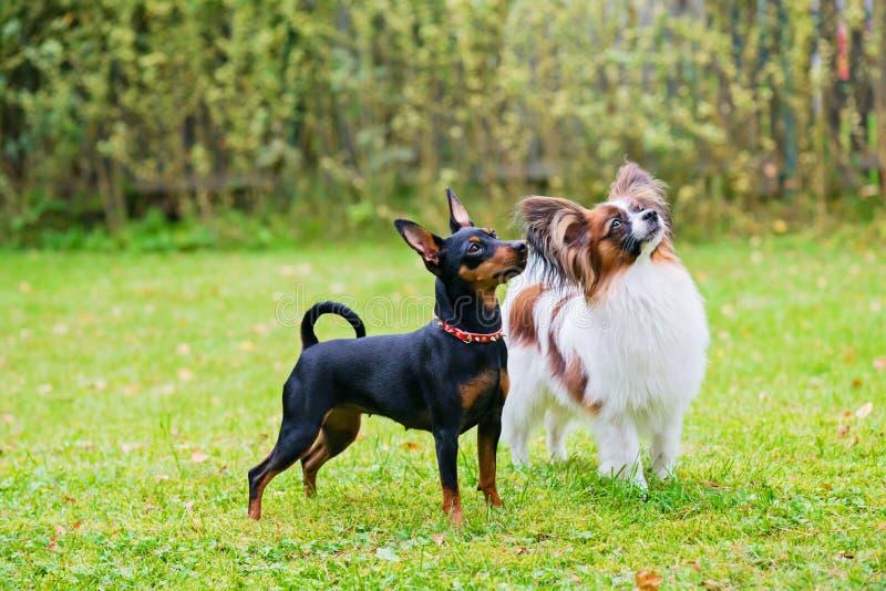 Το μικροσκοπικό pinscher και papillon τα σκυλιά στοκ φωτογραφίες με δικαίωμα ελεύθερης χρήσης