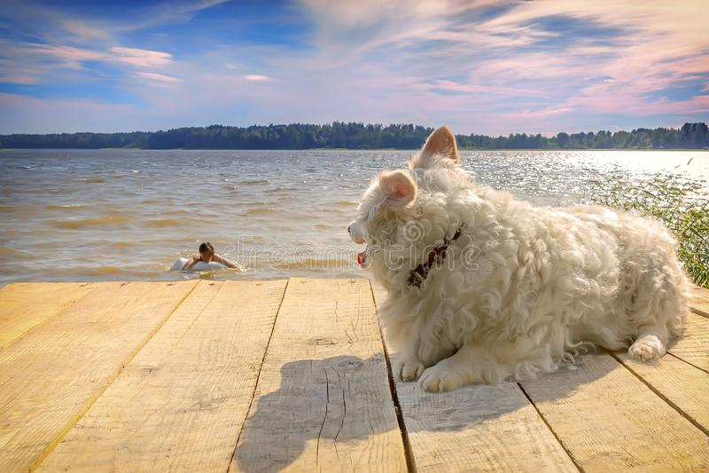 Το μικρό άσπρο νυσταλέο σκυλί βρίσκεται σε μια ξύλινη αποβάθρα στη λίμνη Η γυναίκα κολυμπά στην απόσταση στοκ εικόνες