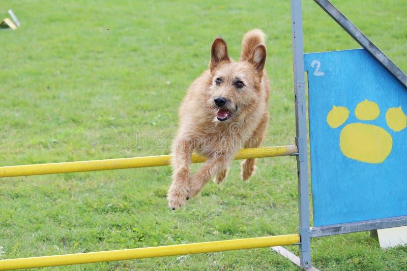 Το μικρό καφετί σκυλί πηδά τα εμπόδια του διαγωνισμού ευκινησίας στοκ εικόνα με δικαίωμα ελεύθερης χρήσης
