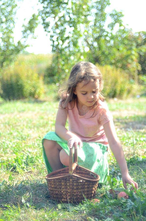 Το μικρό κορίτσι συλλέγει τα μήλα στο καλάθι στοκ εικόνα