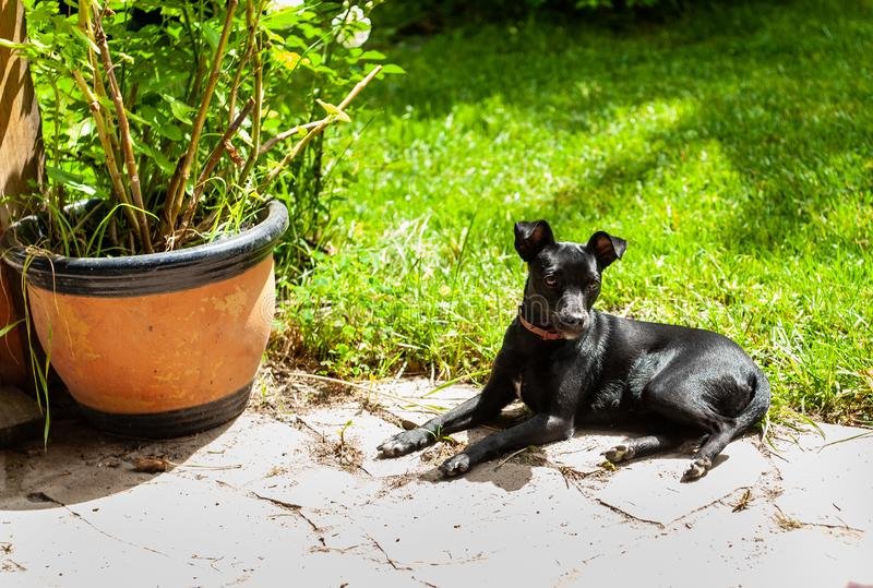 το μικρό μαύρο σκυλί pincher όπως τη φυλή βάζει στο πάτωμα πετρών υπαίθριο, κοντά στο πράσινο δοχείο χλόης και λουλουδιών στοκ εικόνα