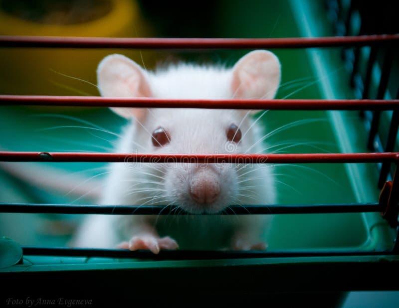 Το μικρό ποντίκι μου στοκ εικόνες με δικαίωμα ελεύθερης χρήσης