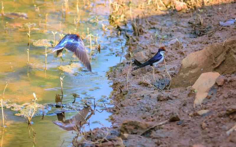 Το μικρό πουλί, καλώδιο-που παρακολουθείται καταπίνει, smithii Hirundo, πλευρά λιμνών στοκ εικόνες