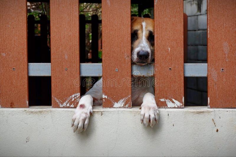 Το μικρό σκυλί είναι κλειδωμένο στο σπίτι στοκ εικόνα