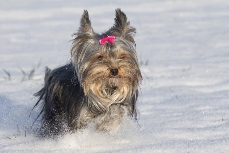 Το μικρό τεριέ του Γιορκσάιρ τρέχει στο χιόνι στοκ φωτογραφία με δικαίωμα ελεύθερης χρήσης