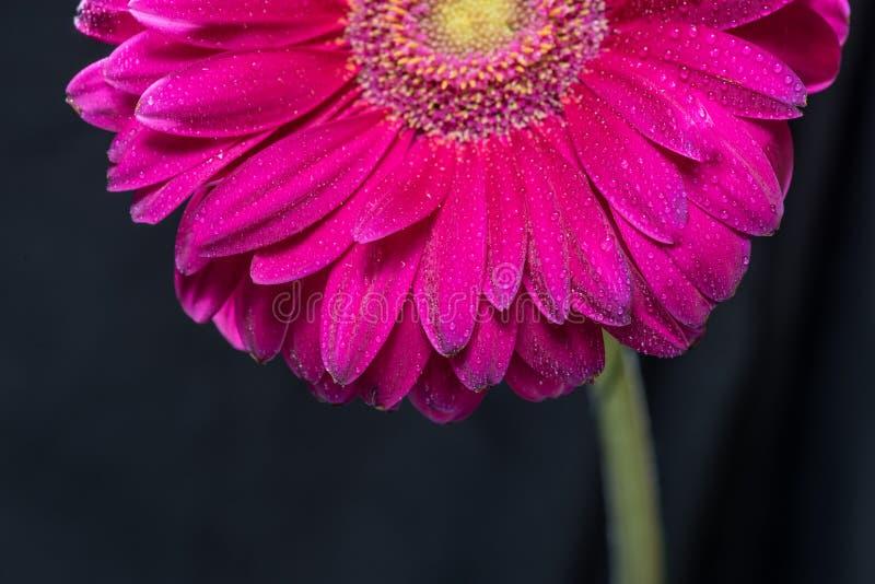 Το μισό από το κόκκινο λουλούδι gerbera με το νερό μειώνεται κοντά επάνω στο μαύρο υπόβαθρο στοκ εικόνες