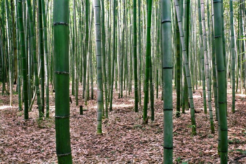 Το μπαμπού αυξάνεται σε ένα δάσος κοντά σε Arashiyama, Ιαπωνία στοκ εικόνες