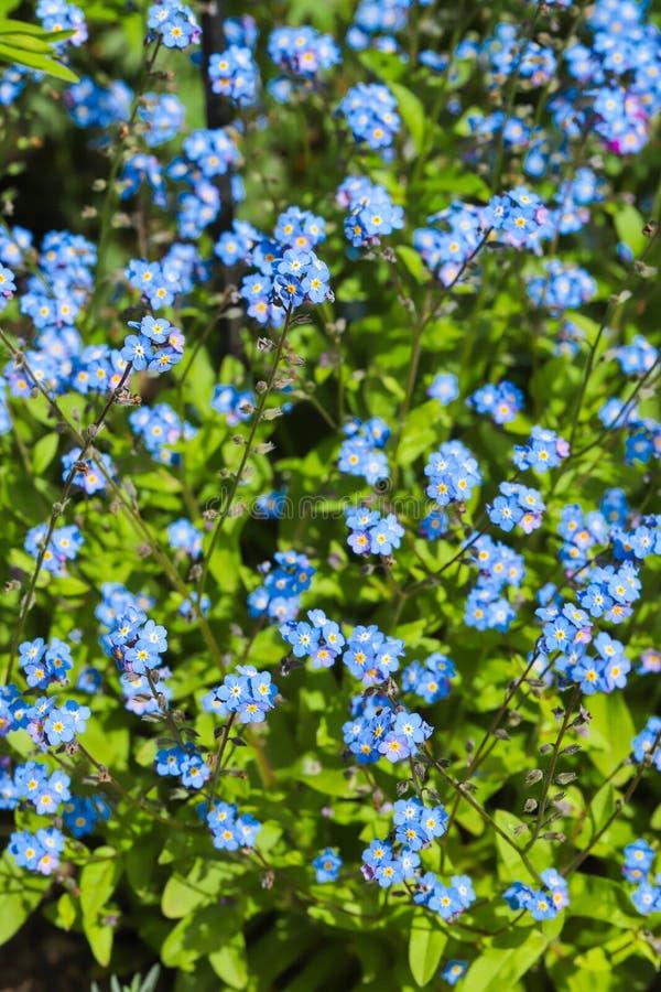 Το μπλε με ξεχνά όχι arvensis Myosotis λουλουδιών στοκ εικόνες