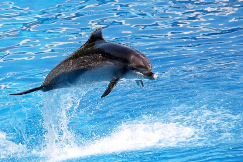 Το μπουκάλι μύρισε το δελφίνι εκτελώντας τα άλματα στοκ εικόνες