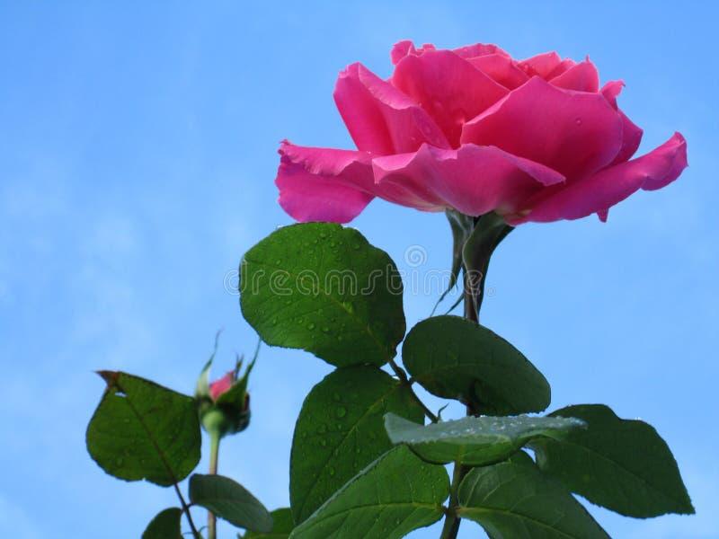 Το μπουμπούκι τριαντάφυλλου και αυξήθηκε με τα ρόδινα πέταλα στο υπόβαθρο μπλε ουρανού στοκ εικόνες