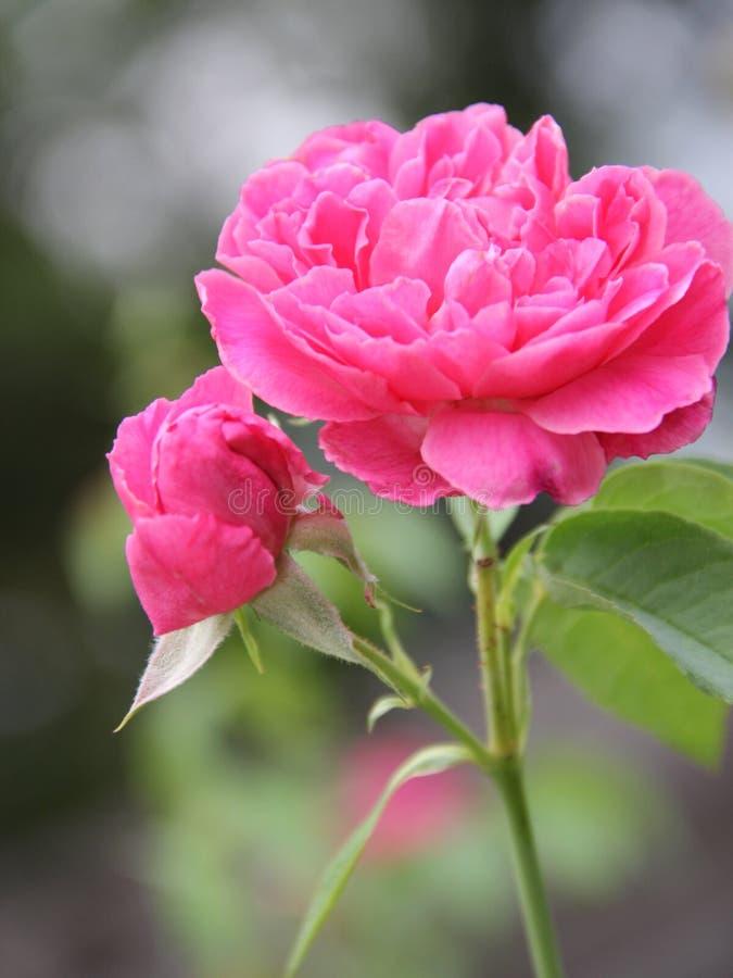 Το μπουμπούκι τριαντάφυλλου και ρόδινος αυξήθηκε στοκ εικόνες