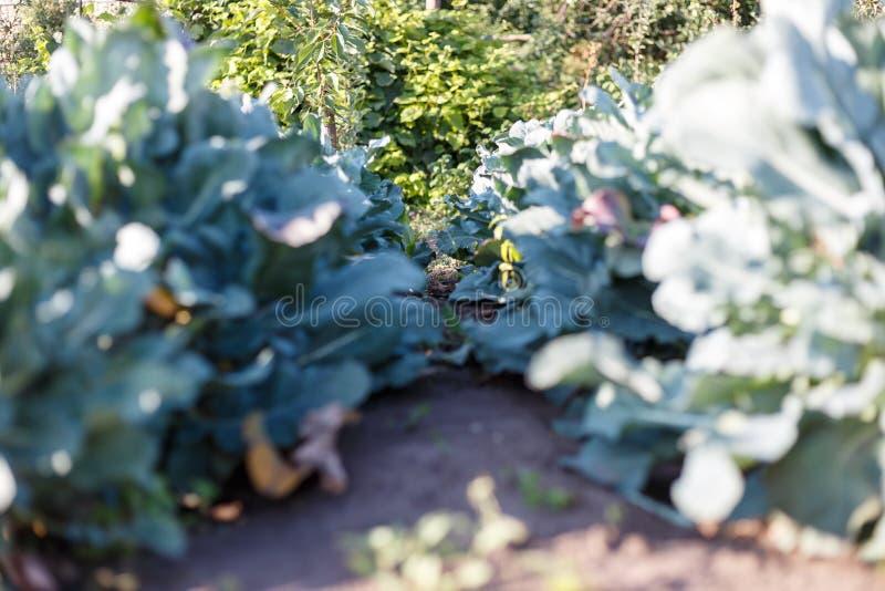 Το μπρόκολο κήπων Αυξανόμενα λαχανικά Μεγάλος τομέας του μπρόκολου στοκ φωτογραφίες