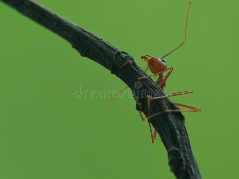 Το μυρμήγκι αναρριχείται στοκ φωτογραφία με δικαίωμα ελεύθερης χρήσης