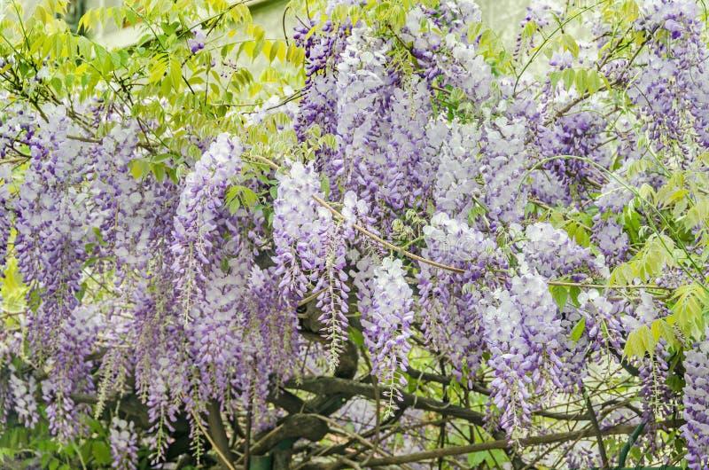 Το μωβ sinensis Wisteria (κινεζικό wisteria), λουλούδια δέντρων Glicina, κλείνει επάνω στοκ εικόνες