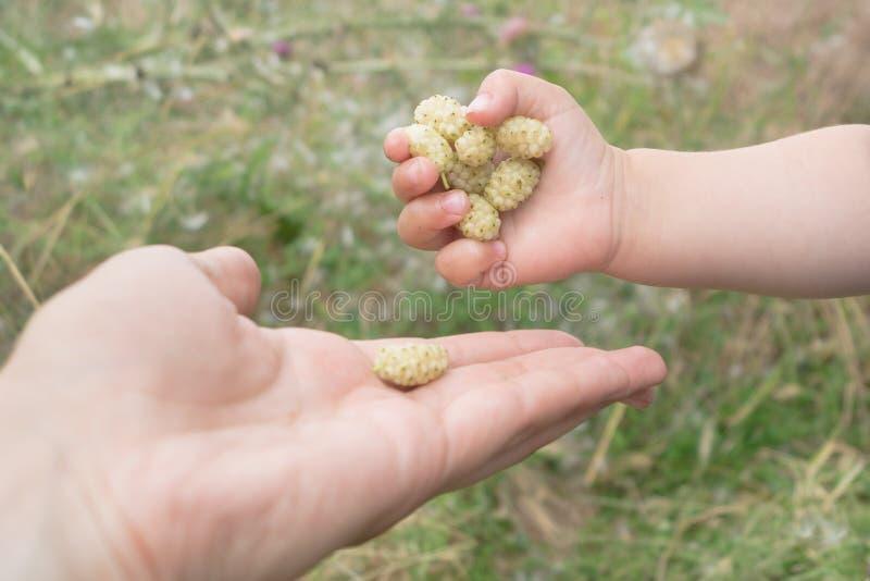 Το μωρό δίνει μια χούφτα της άσπρης μουριάς στο χέρι μητέρων ` s στοκ εικόνες