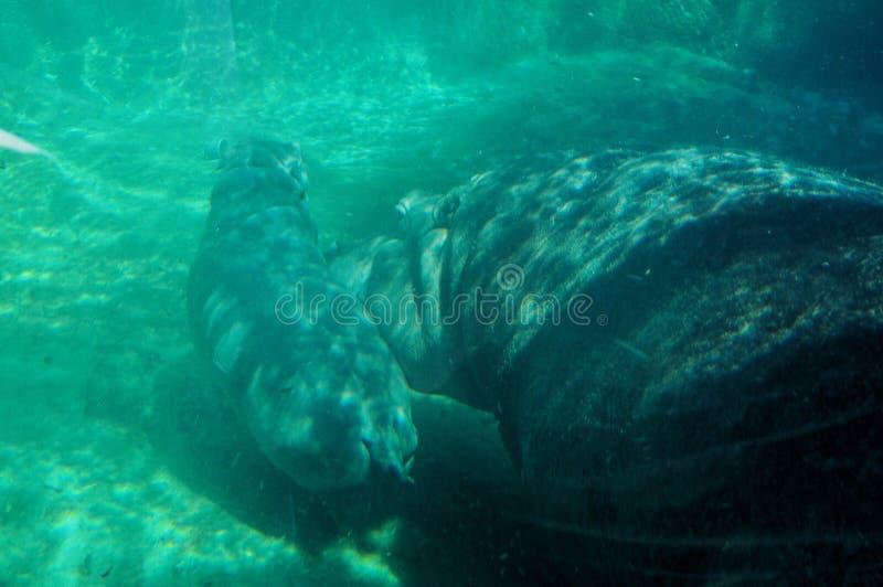 Το μωρό Hippo κολυμπά στοκ εικόνες με δικαίωμα ελεύθερης χρήσης