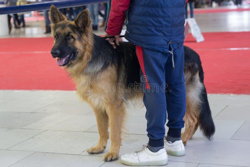 Το νέο γερμανικό σκυλί ποιμένων στο σκυλί παρουσιάζει στοκ φωτογραφία με δικαίωμα ελεύθερης χρήσης