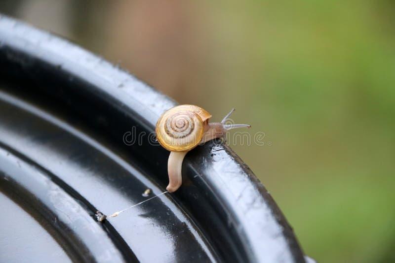 Το νέο σαλιγκάρι που περπατά αργά στη μαύρη πλαστική ΚΑΠ, το σαλιγκάρι είναι ένα μαλάκιο με ένα ενιαίο σπειροειδές κοχύλι στοκ εικόνες