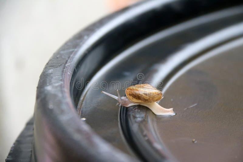 Το νέο σαλιγκάρι που περπατά αργά στη μαύρη πλαστική ΚΑΠ, το σαλιγκάρι είναι ένα μαλάκιο με ένα ενιαίο σπειροειδές κοχύλι στοκ φωτογραφία με δικαίωμα ελεύθερης χρήσης