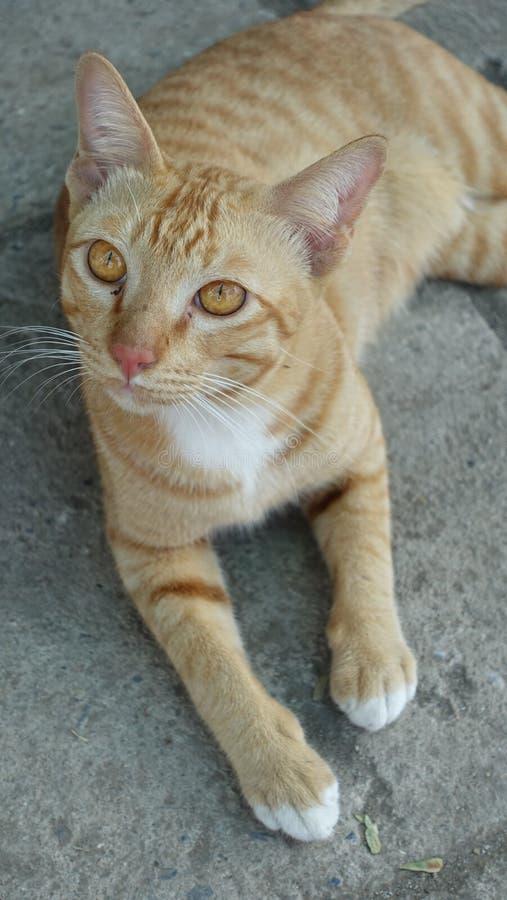 Το νέο σχέδιο τιγρών γατών στοκ εικόνα με δικαίωμα ελεύθερης χρήσης