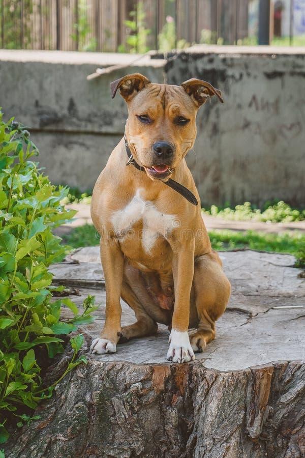 Το νέο τεριέ Staffordshire σκυλιών κάθεται και flirty στοκ φωτογραφίες με δικαίωμα ελεύθερης χρήσης