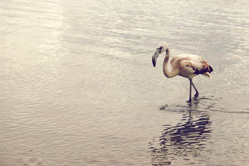 Το νέο φλαμίγκο πηγαίνει γόνατο-βαθιά στο νερό, διάστημα αντιγράφων για το κείμενό σας στο αριστερό στοκ εικόνα