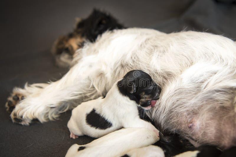 Το νεογέννητο μωρό σκυλιών - κουτάβι είναι μια ημέρα - ανυψώνει το Russell πιό terrrier με γρύλλο στοκ εικόνα με δικαίωμα ελεύθερης χρήσης