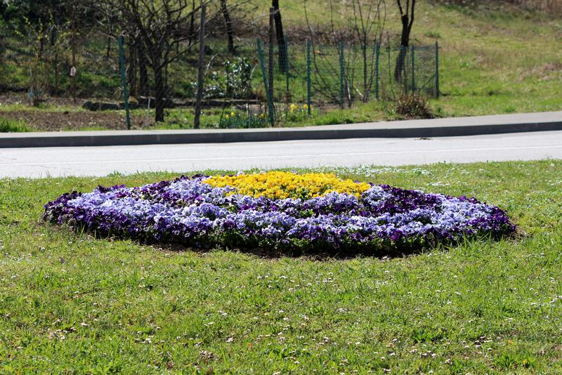 Το νησί λουλουδιών φιαγμένο από ζωηρόχρωμα μικρά άγρια λουλούδια tricolor άγριου pansy ή Viola περιέβαλε με την άκοπη χλόη και έσ στοκ εικόνες