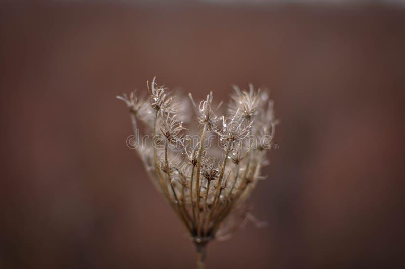 Το ξηρό λουλούδι, το φθινόπωρο/η πτώση ή ο χειμώνας, κλείνουν επάνω, φυσικό υπόβαθρο bokeh στοκ εικόνα