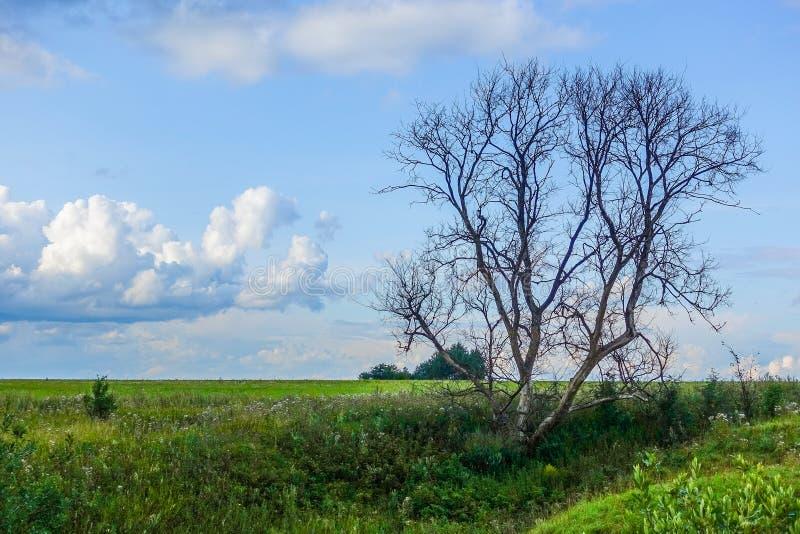 Το ξηρό μεγάλο μόνο δέντρο σε έναν πράσινο τομέα Ο ουρανός με τα σύννεφα r στοκ εικόνες με δικαίωμα ελεύθερης χρήσης