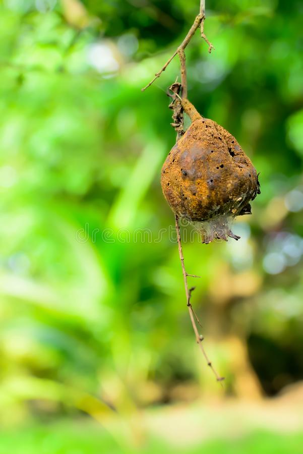 Το ξηρό ρόδι κρεμά με το έντομο μολυσμένο στοκ εικόνα
