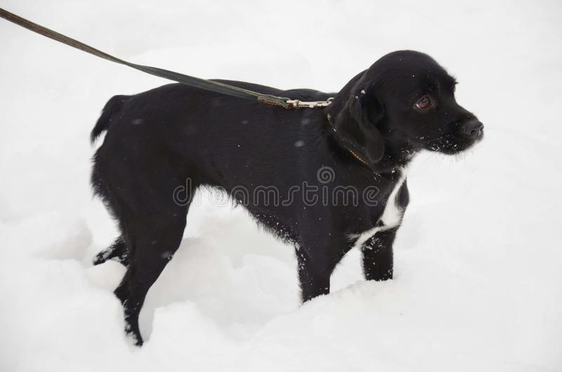 το λουρί σκυλιών χιονιού στοκ εικόνες