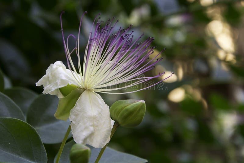 Το λουλούδι καπάρων (spinosa Capparis) άνθισε έξω στοκ εικόνες