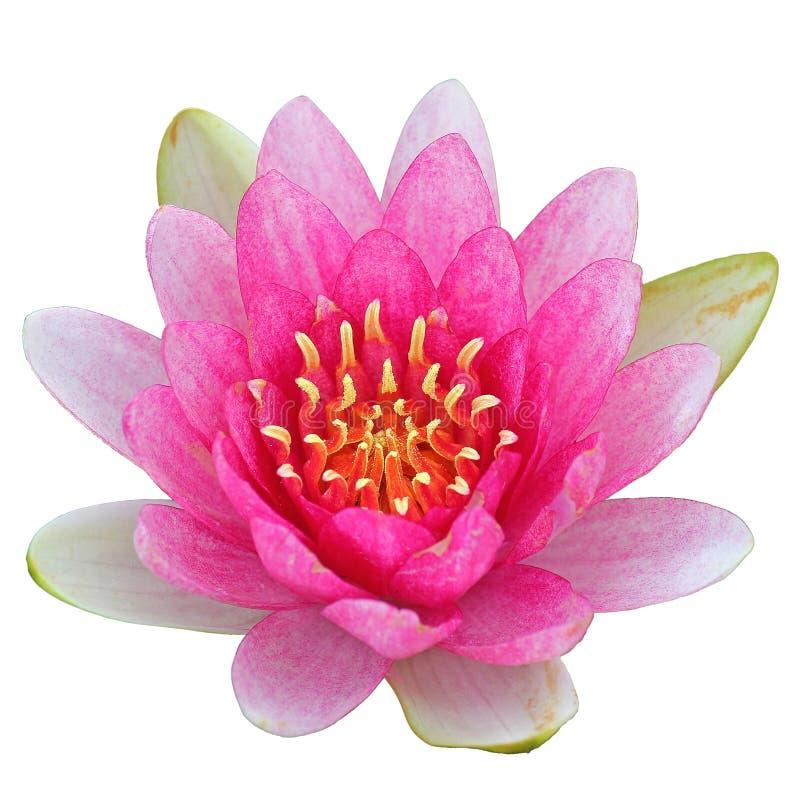 Το λουλούδι Lotus απομονώνει στο άσπρο υπόβαθρο στοκ φωτογραφία