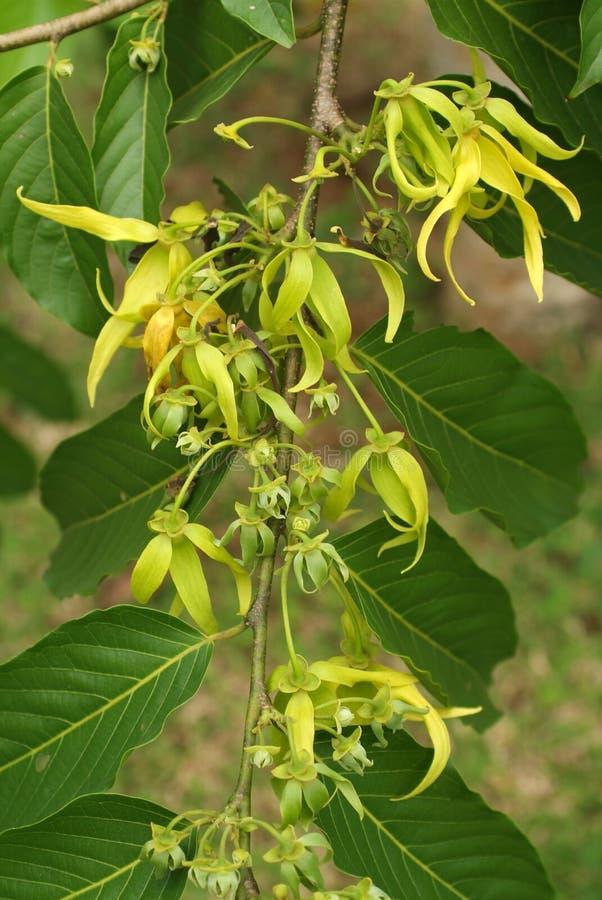 Το λουλούδι Ylang Ylang στοκ φωτογραφία