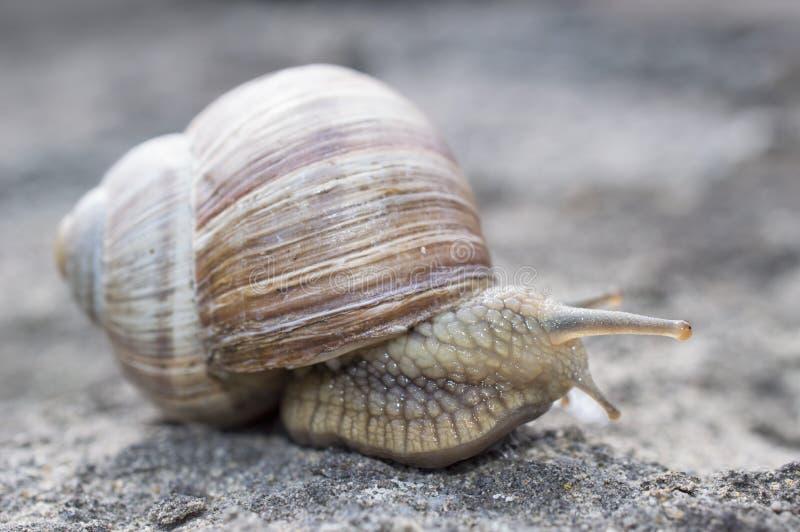 Το ολισθηρό σαλιγκάρι με ένα κοχύλι είναι στη βιασύνη στοκ φωτογραφίες με δικαίωμα ελεύθερης χρήσης