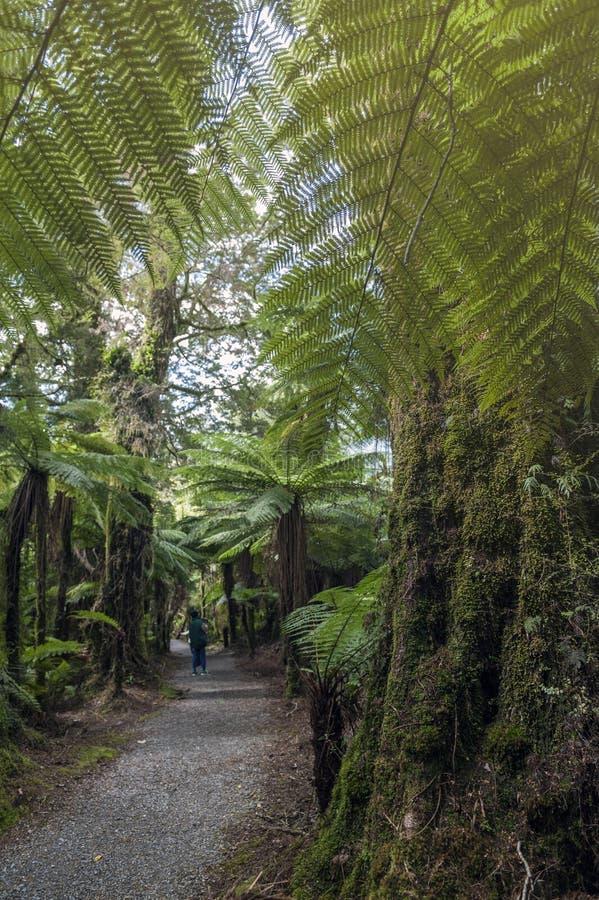 Το οδοιπορικό πεζοπορίας στο βρυμένος Μπίλι μειώνεται μεταξύ των δέντρων τροπικών δασών και φτερών, Νέα Ζηλανδία στοκ εικόνα με δικαίωμα ελεύθερης χρήσης