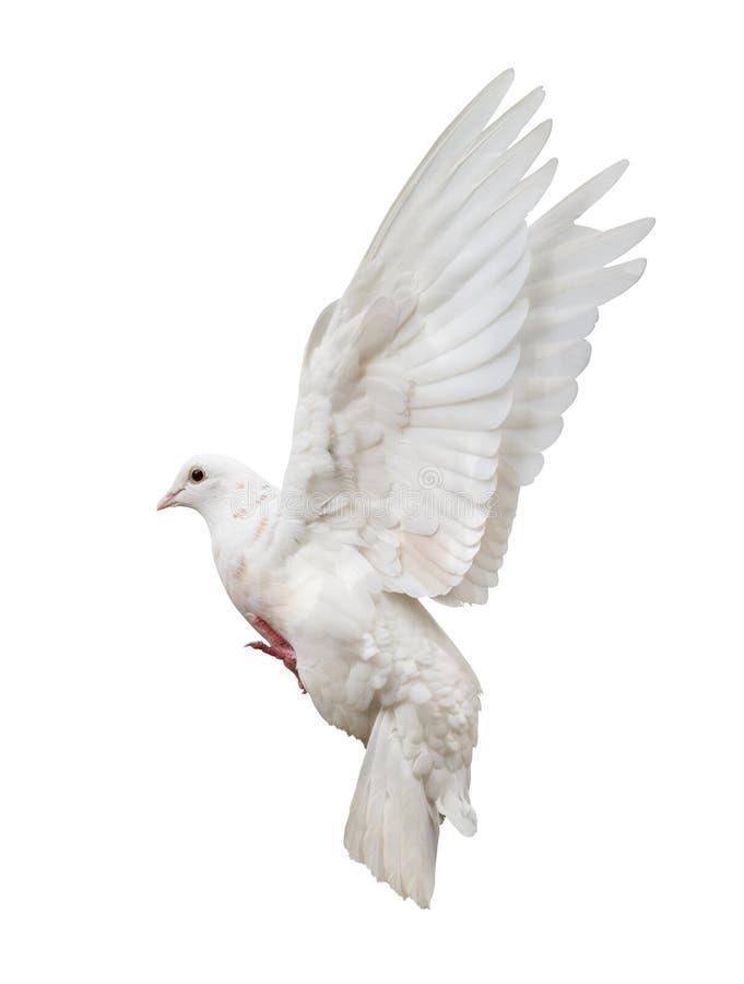 Το πέταγμα απομόνωσε το άσπρο περιστέρι στοκ εικόνα με δικαίωμα ελεύθερης χρήσης