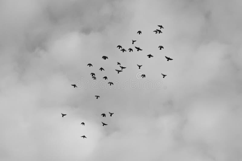 Το πέταγμα μεταναστεύει γραπτό υπόβαθρο πουλιών στοκ εικόνα με δικαίωμα ελεύθερης χρήσης