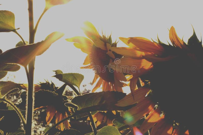 Το πίσω φως ήλιων του ηλίανθου στοκ φωτογραφίες